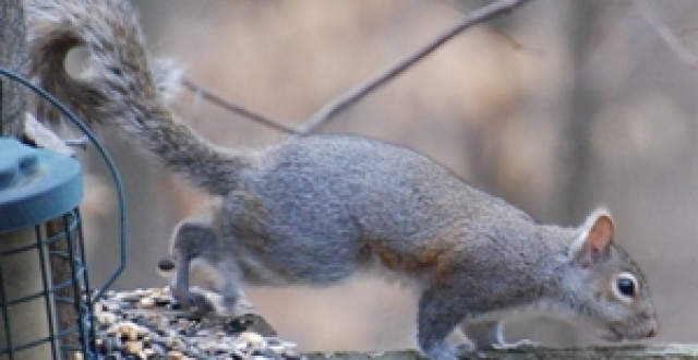Eastern Squirell