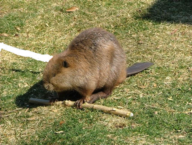 beaver at lunch