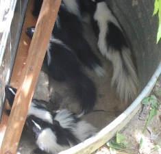 baby skunks in window well