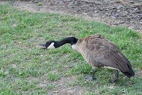 aggressive goose.jpg