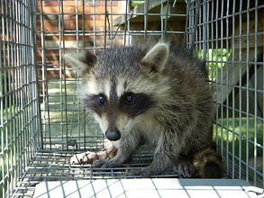 raccoon in cage.jpg