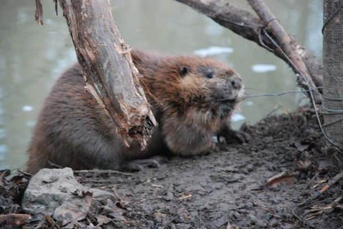 beaver by log
