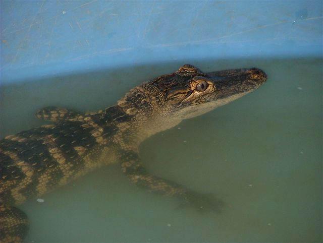 alligator in tank