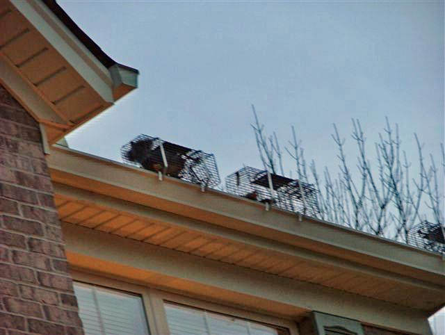 squirrels in traps on roof