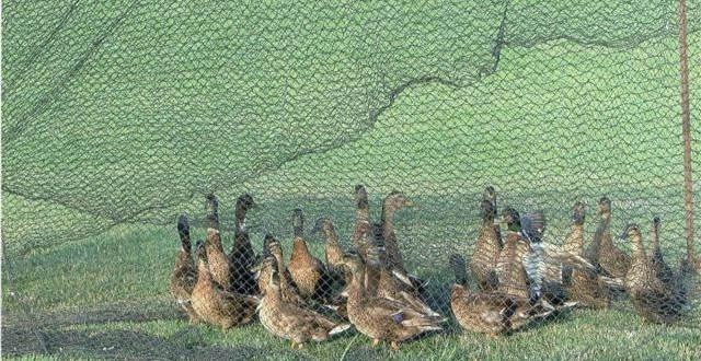duck round up