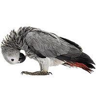 africangreyparrotbirdcage_large.jpg