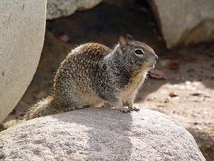 CA_Ground_Squirrel_on_rock.jpg