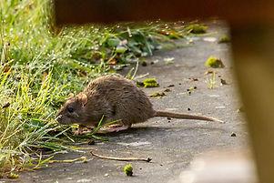 A_river_rat.jpg