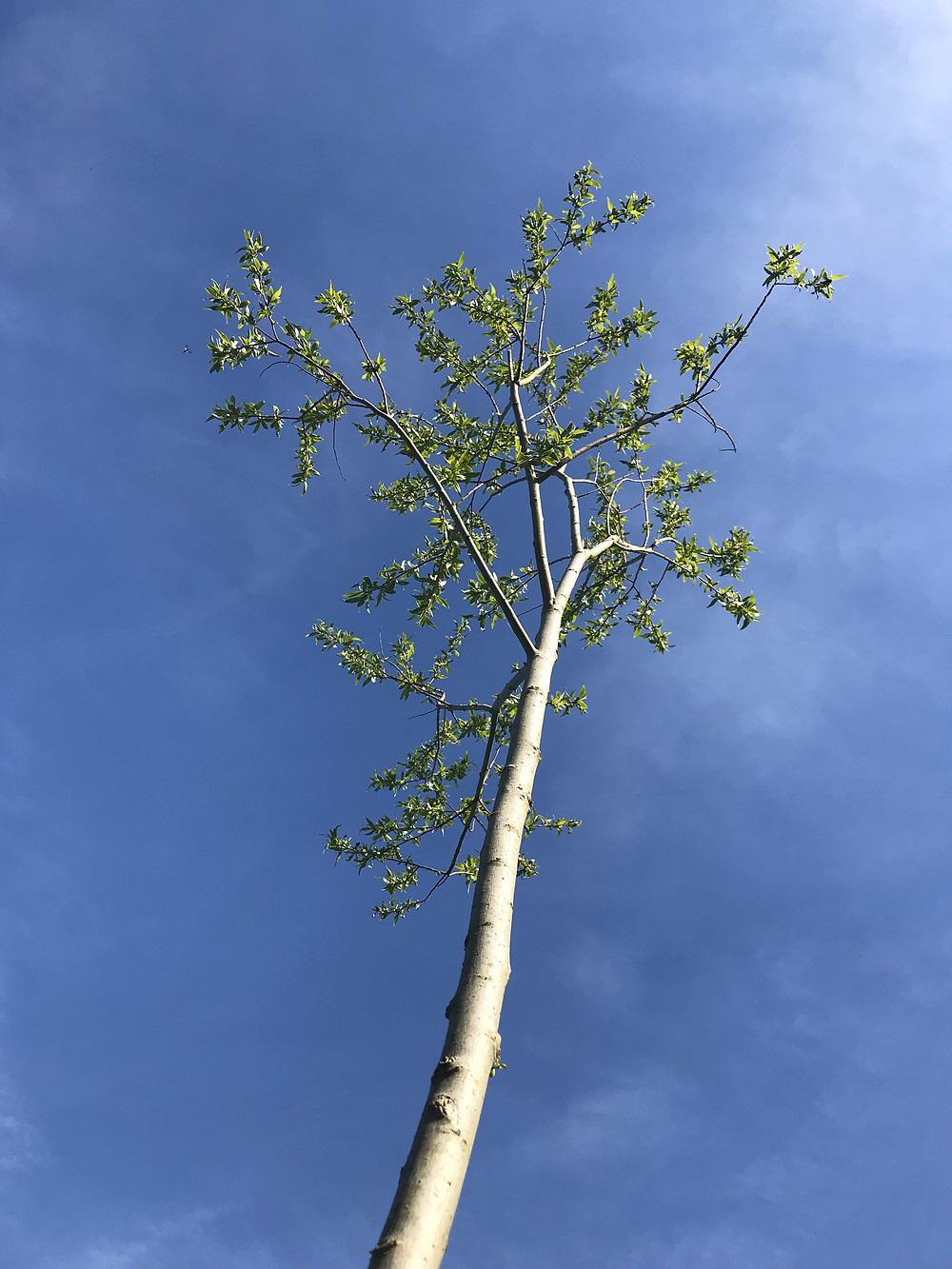 Cricket Bat Willow