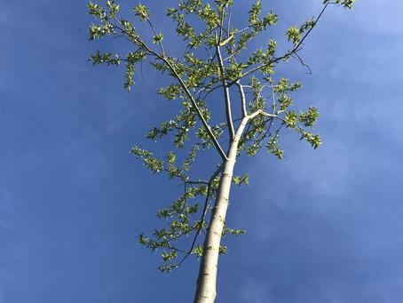 Cricket Bat Willows