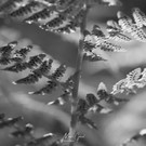 Palm Frond_02