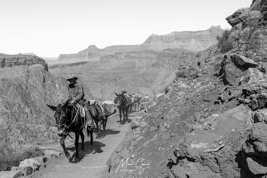 Pack Mules headed up South Kaibab
