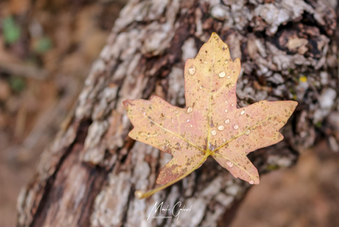 Sycamore leaf clings to fall