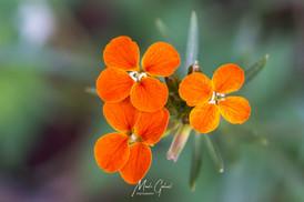 Alpine Orange
