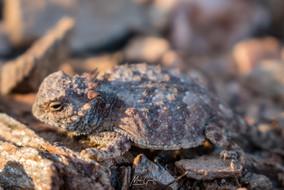 Desert Horny Toad
