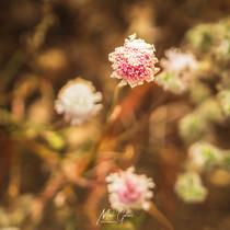 Dusty Wild Flowers