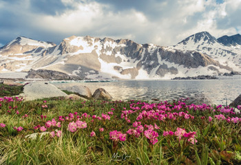 Alpine Flowers along Wanda Lake, S. of Muir Pass
