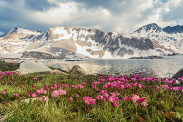 Alpine Flowers along Wanda Lake, S. of Muir Pass