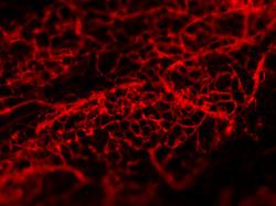 blood vessel2.jpg
