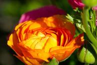 קטיף נוריות - אחד הפרחים היפים שיש בטבע