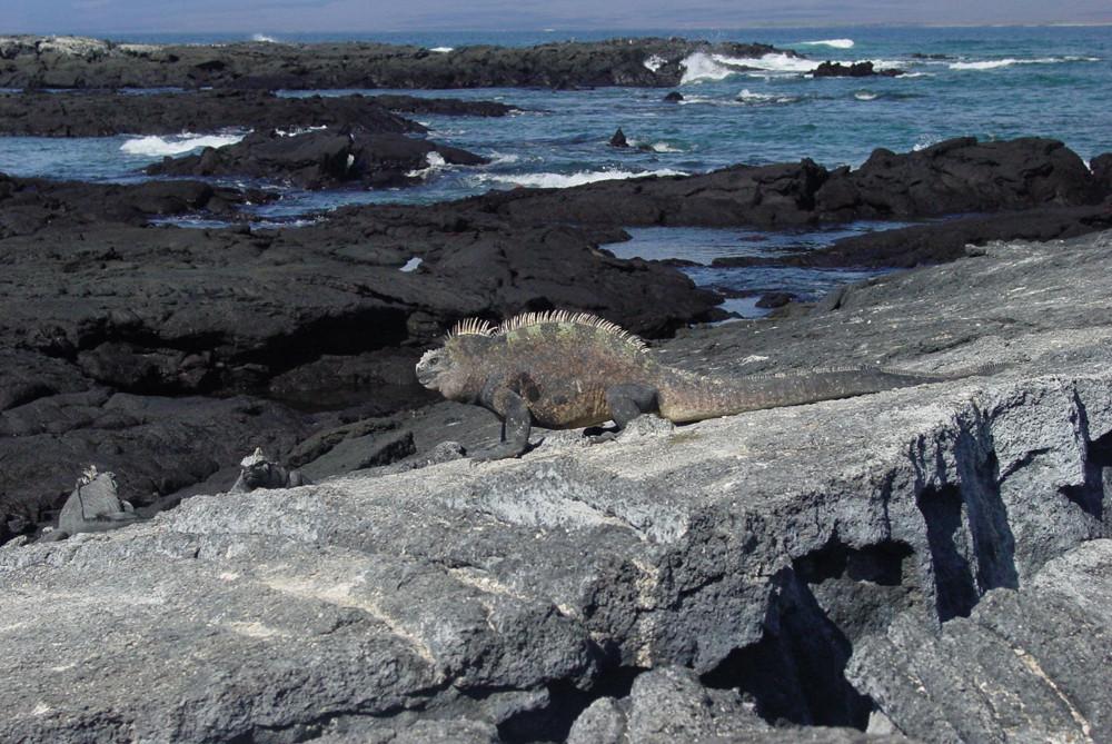 South America_Galapagos Iguana rocky coa