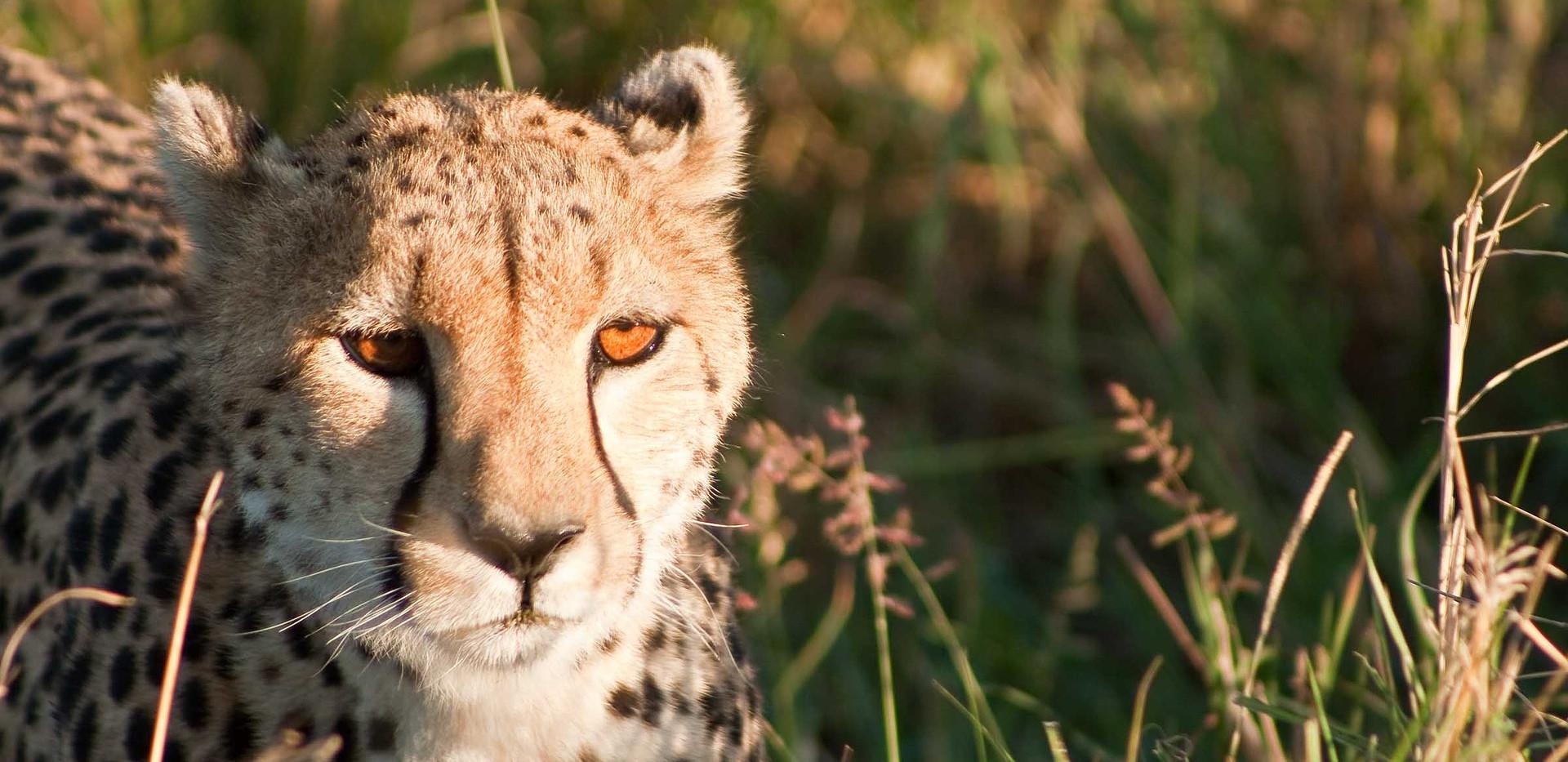 cheetah-1083274_1920.jpg