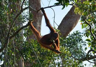 Orangutan on Borneo  Photo ©Ferry F. Husein