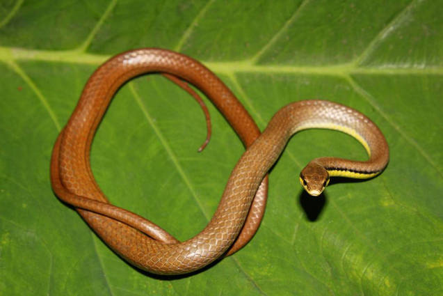 Liopeltis tricolor, the only insectivorous snake on Java.  Photo ©Richard Ardiwibawa