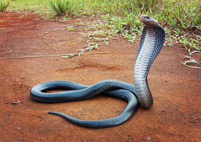 Javan Spitting Cobra (Naja sputatrix) from Bogor.  Photo ©Nathan Rusli
