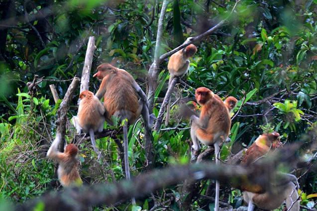 Proboscis Monkeys on Borneo  Photo ©Ferry F. Husein