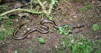 Striped Litter Snake (Sibynophis geminatus) from West Java.   Photo ©Richard Ardiwibawa