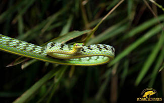 Vine Snake (Ahaetulla mycterizans) from West Java.  Photo ©Jungle Diaries