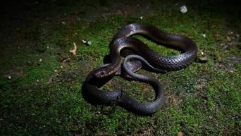 One of the rarest snakes on Java, Elapoidis fusca.  Photo ©Richard Ardiwibawa