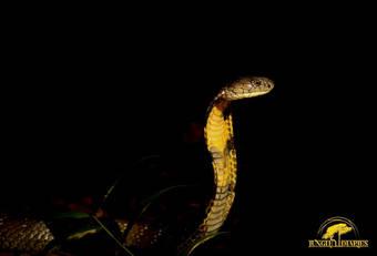 King Cobra (Ophiophagus hannah) from Borneo.  Photo ©Jungle Diaries