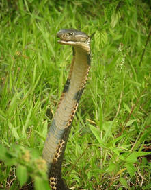 King Cobra (Ophiophagus hannah) from North Sulawesi
