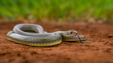 Indo-Chinese Rat Snake (Ptyas korros) from West Java. These are one of the most common species found in lowland forest and agricultural areas.   Photo ©Myke Clarkson