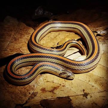 Eight-Lined Kukri Snake (Oligodon octolineatus) from West Java.  Photo ©Nathan Rusli