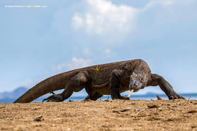 Komodo Dragon (Varanus komodoensis)  Photo ©Daniel Mideros
