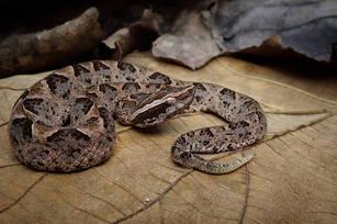 Malayan Pit Viper (Calloselasma rhodostoma) from West Java.  Photo ©Richard Ardiwibawa