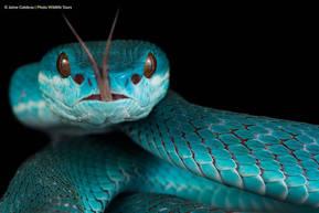 Blue Viper (Trimeresurus insularis) from Komodo.  Photo ©Jaime Culebras