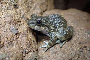 Kuhl's Creek Frog (Limnonectes kuhlii) from West Java.  Photo ©Richard Ardiwibawa