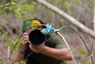 Photographing a blue phase of Trimeresurus insularis on Komodo Island.  Photo ©Jungle Diaries