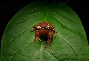 Pearly Tree Frog (Nyctixalus margaritifer from West Java.  Photo ©Richard Ardiwibawa