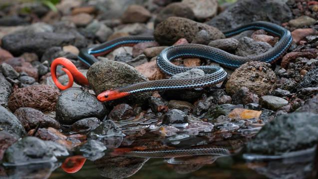 Blue coral snake (Calliophis bivirgata) from West Java.   Photo ©Myke Clarkson