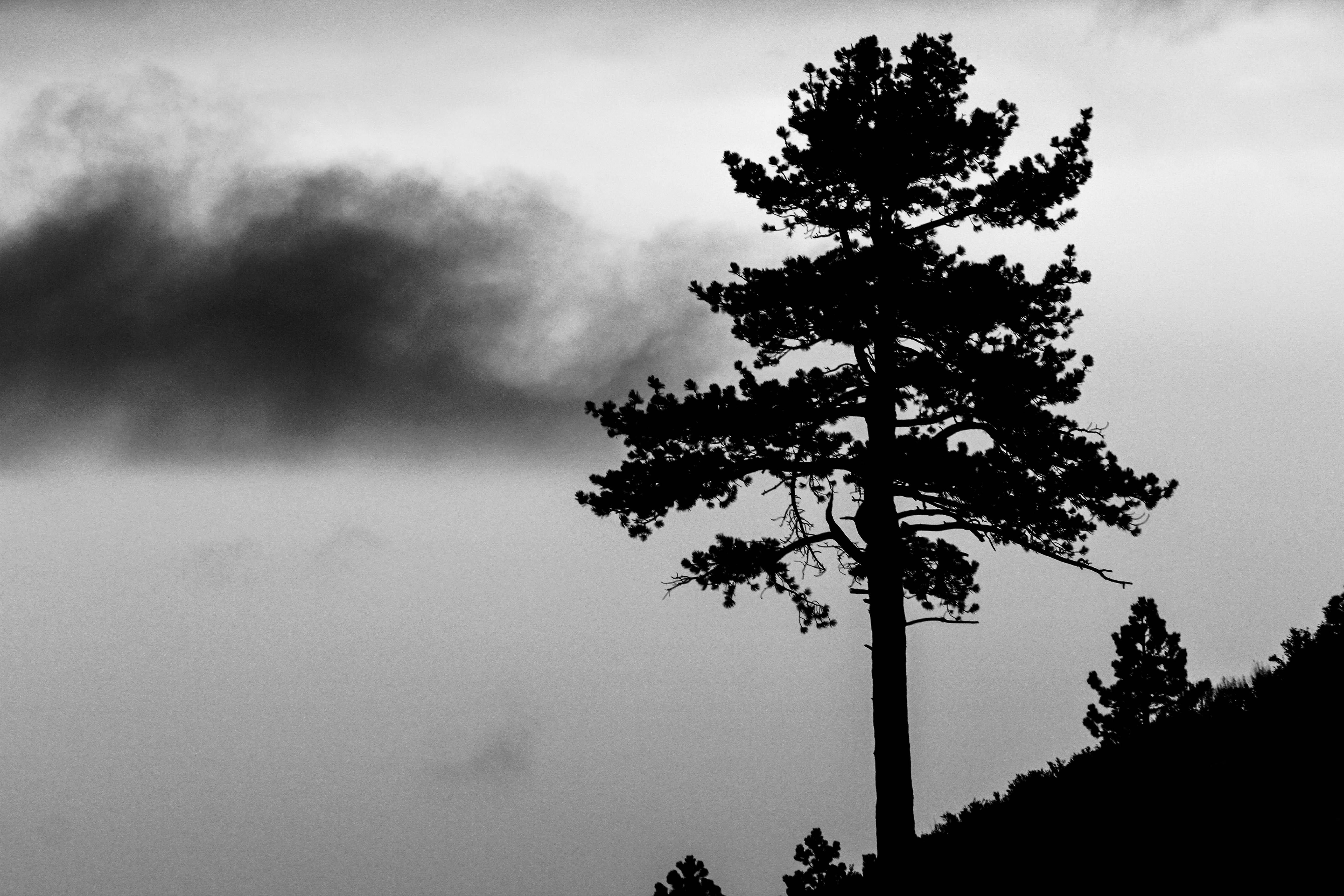 Lone Tree - Yosemite