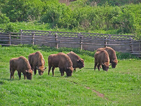 the_bison_reserve_in_hateg_-_rezervatia_