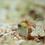 Thumbnail: Yellowhead Jawfish Puzzle