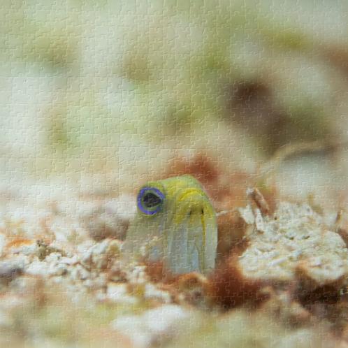 Yellowhead Jawfish Puzzle