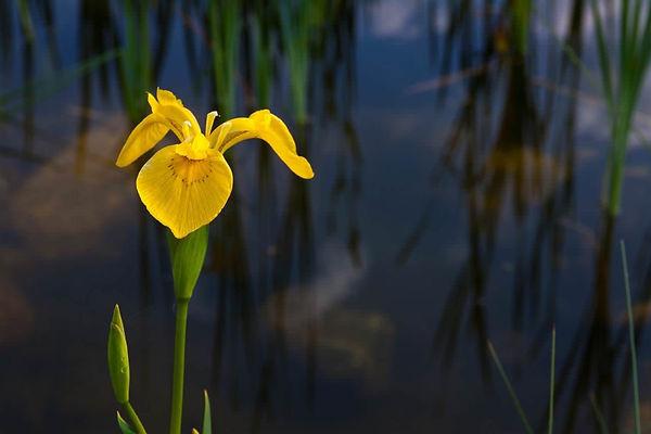 heimische-sumpf-schwertlilie-iris-pseuda