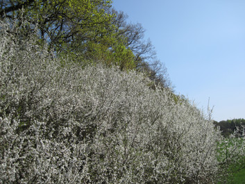 Waldmantelgebüsche
